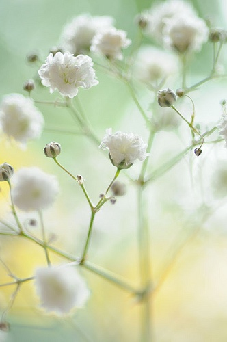 Gypsophila or Baby's Breath is a stunning wedding flower which represents innocence and a pure heart.  The flowers have become increasingly fashionable especially when used on their own.