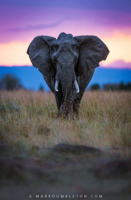 Elephant at sunset ~ Mara Triangle, Maasai National Reserve, Kenya, Africa