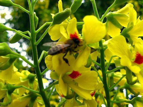 * Pau-Brasil *  Flor. (Caesalpinia echinata).