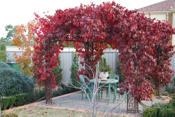 Ornamental Grape Vine Zones 5 9 Amazing Fall Color