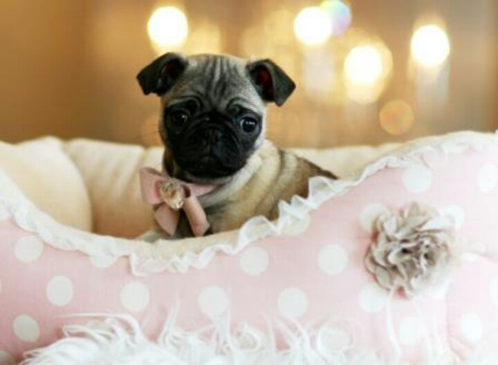 Cute Teacup Pugs | www.pixshark.com - Images Galleries ...