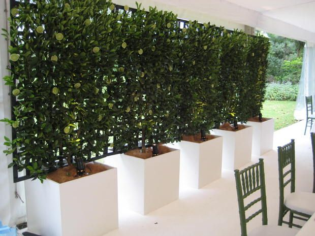 These trees have been espaliered onto a trellis in planters for a really gorgeous privacy screen that is edible!