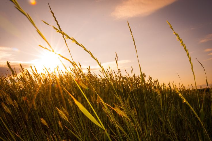 Whisping Wheat on the Canadian Prairies. Photo by Ryan Joyce.