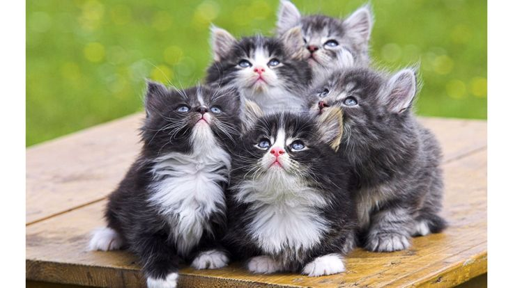 Cat Breeds That Stay Small and Tiny Forever Kittens