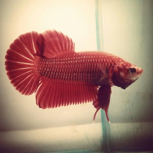 red giant betta