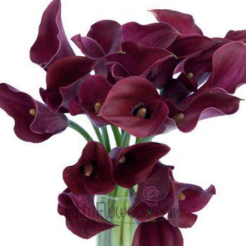 FiftyFlowers.com - Deep Purple Wine Bulk Mini Calla Lilies