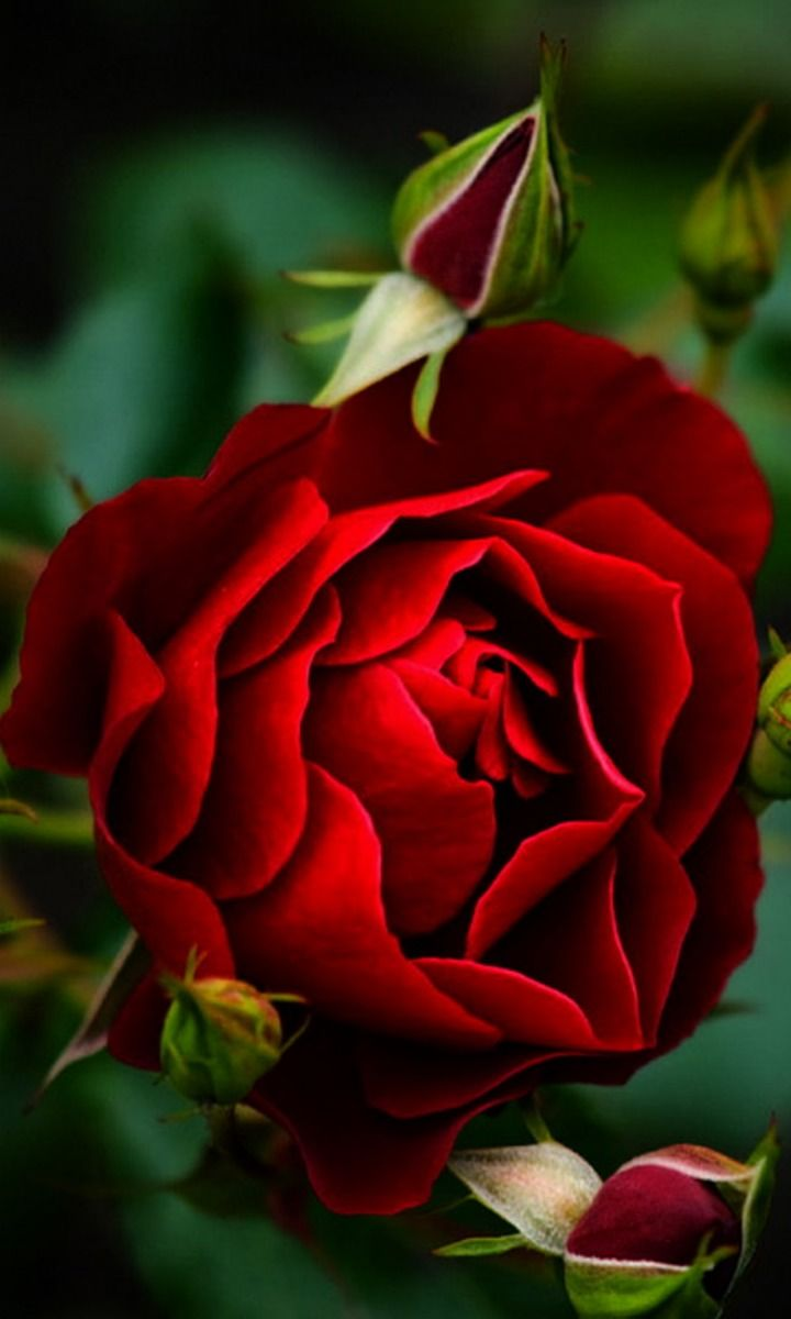 A rose of red for love and passion…