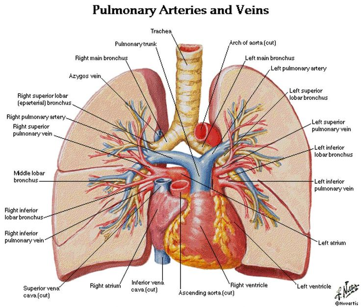Normal Lung Anatomy Image Collections Human Body Anatomy