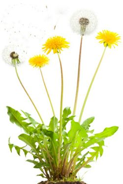 Kill dandelions by using cultural, chemical or organic weed control methods.  Thwart future invasions of dandelions into your lawn and landscape beds.