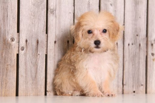Morkie puppy for sale in MOUNT VERNON, OH. ADN-45890 on PuppyFinder.com Gender: Male. Age: 10 Weeks Old