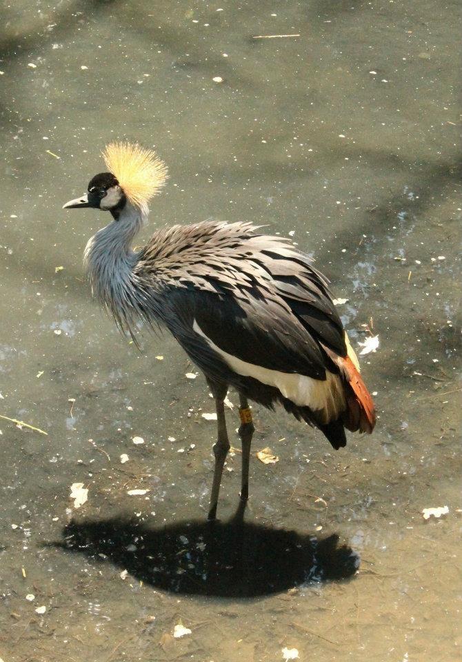Large Standing Cranes Stencil: Grey-crowned Crane