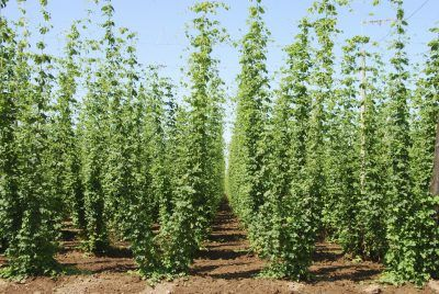 Hops Spacing Requirements: Tips On Plant Spacing For Hops - Most people know that hops are used to make beer, but did you know that the hop plant is a fast-climbing vine? If you decide to grow hops, give a thought to hops plant spacing. This article has more information on spacing requirements for hops.