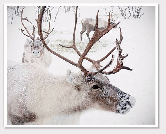 Winter Reindeer PhotoChristmas in Norway SnowWall by sarahnatsumi, $30.00