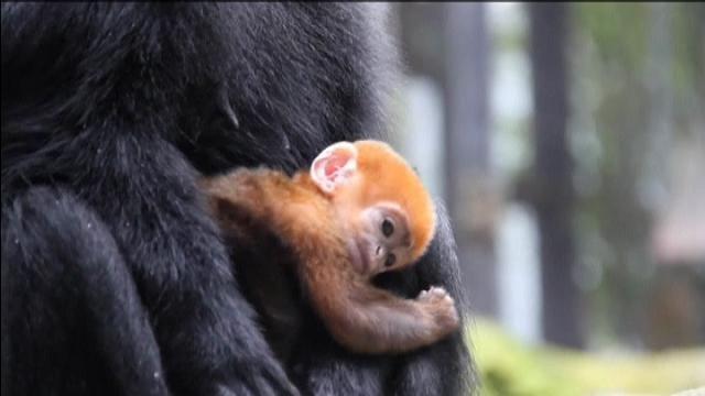 Eccola nelle braccia della mamma, Nangua. Nata nello zoo australiano di Taronga, appartiene alla specie dei lutung. Oltre all'affetto dei genitori riceve anche le coccole degli altri adulti della comunità ospitata dal giardino zoologico