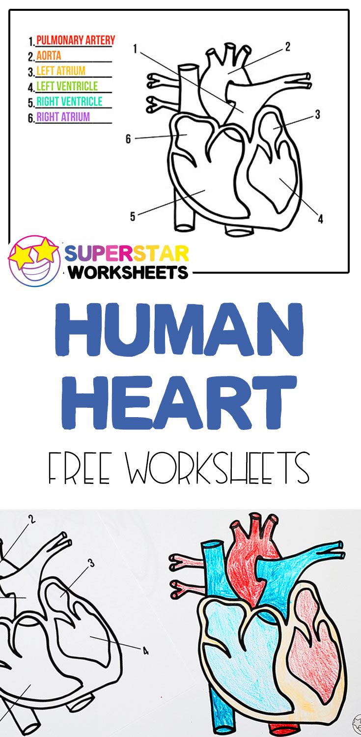 Free Heart Worksheets   Teaching human body systems [ 1500 x 735 Pixel ]