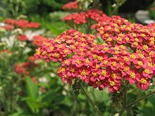 """Wikipedia for Yarrow. Flower means """"good health,"""" and the plant has a long history as a powerful""""'healing herb"""" used topically for wounds, cuts and abrasions. Perfect connection to surgeries and scar!"""