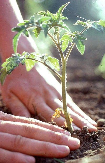 Oltre 25 fantastiche idee su giardino di pomodori su for Coltivare more in vaso