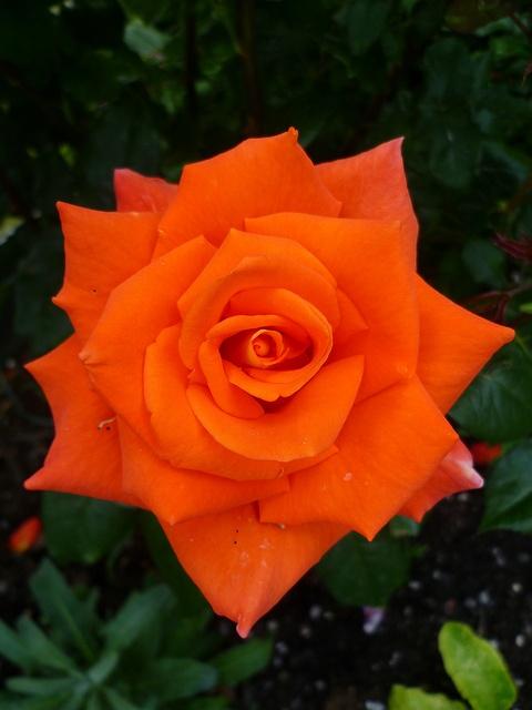 Orange Garden Rose: 1921 Best Images About Garden Beauties On Pinterest
