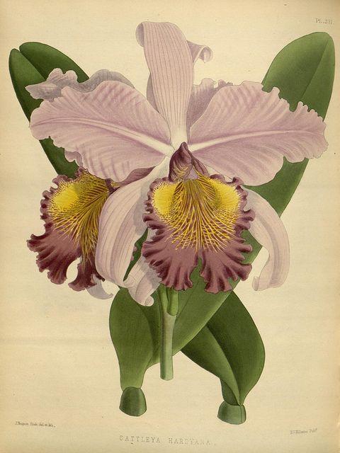 jomobimo:    Plate 231, Orchid album :. London :B. S. Williams,1882-97