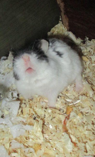 kleiner Charmeur... - Seite 2 - Mein Hamster stellt sich vor - www.das-hamsterforum.de