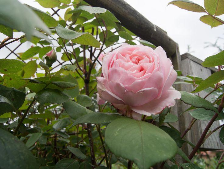 den første engelske rose i udspring.