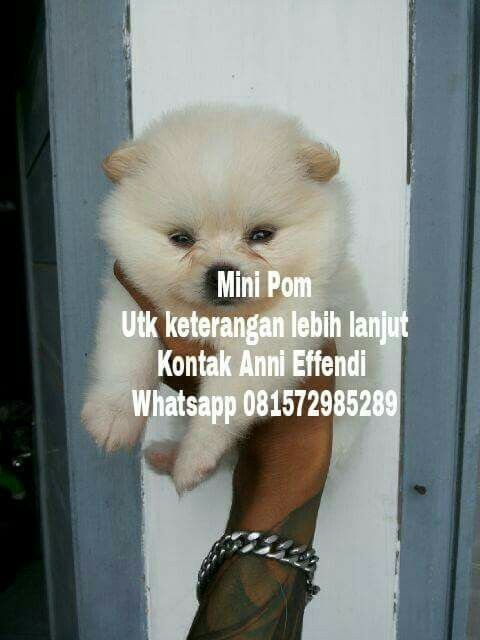 VON JAVELLINE KENNEL  MINI POM Female Warna Putih  Stamboom on progress , vaksin on progress  Obat cacing done HARGA BERSAHABAT  Anni Effendi Whatsapp 081572985289 Udin Climber  Whatsapp 08975150999 Pin BBM 51A22388  www.facebook.com/VonJavellineKennel breederanjingras.blogspot.co.id vonjavellinekennel.wordpress.com IG : von_javelline_kennel  #jualalaskan #jualalaskanmalamute #alaskanmalamute #alaskan #puppies #anjingras #jualanjing #anjingrasmurah #alaskanmurah #puppiesofinstagram…