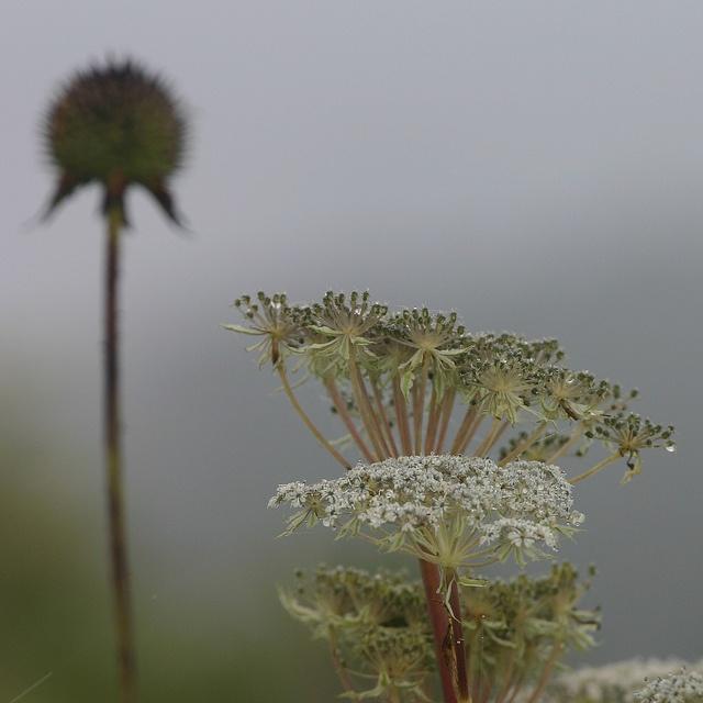 Selinum wallichianum by twig-design, via Flickr