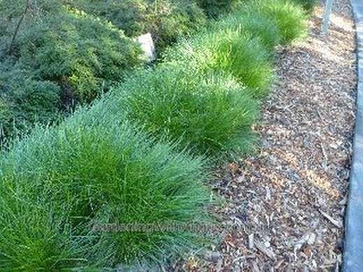 Lomandra-confertifolia-Little-Con-4