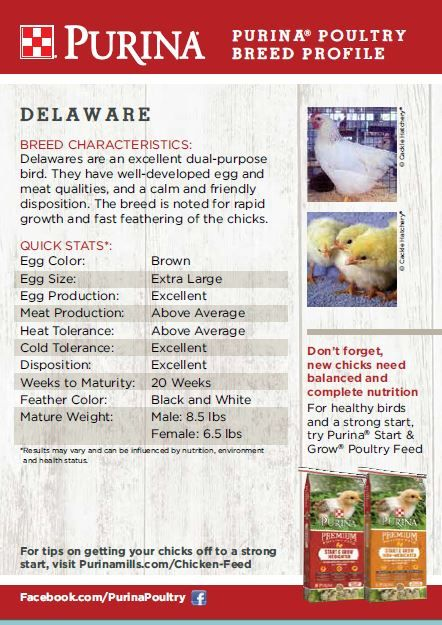Featured Chicken Breed: Delaware.  The Delaware breed of chicken originated in the U.S. state of Delaware. This medium-sized, white bird lays jumbo brown eggs and is known to be a good free-range option.