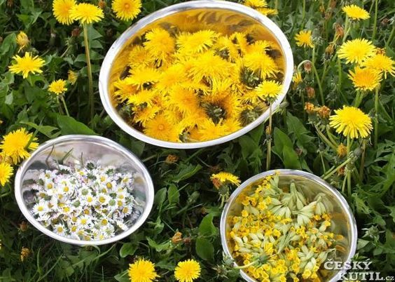 Pampeliškový sirup K 1 kg cukru potřebujete:  400květů pampelišky 100květů sedmikrásky 50květů petrklíčů –prvosenky jarní 20 vrchních částí rostliny hluchavky nebo její listy a květy 1-2 pomeranče Květy pampelišek i ostatních do hrnce, hluchavky- jen listy a květy. Citron a pomeranč  na dílky a na půlky Směs zalijeme 2 – 2,5 l vody, cukr rozpustit a směs míchat. Druhý den scedíme směs přes plátýnko a svaříme 1 – 1,5 hod., podle toho, jak houstne, do sklenic, zavíčkujeme a uložíme do chladu.