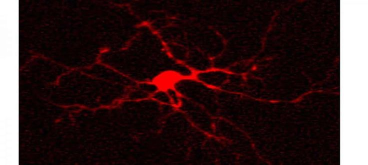 Researchers report astrocyte uncoupling could be a cause of temporal lobe epilepsy.