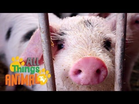 PIGS: Animal videos for children| kids| toddlers. Preschool learning. - YouTube