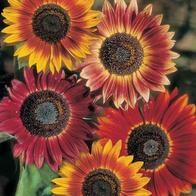 Sun Flower Evening Sun Termasuk bunga matahari yang sudah berkembang, memiliki beberapa warna yang indah. Minat? sms ke 082214890085
