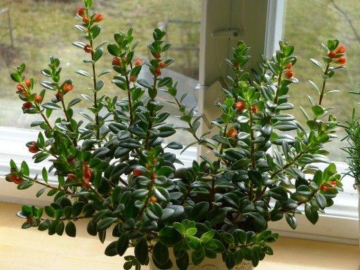 Гипоцирта — поцелуй лета.  У этого замечательного растения семейства геснериевых желтые или оранжевые цветки похожи на сложенные для поцелуя губы. Будь то ампельное растение в подвесном кашпо или обычный цветок в горшке на подоконнике — гипоцирта становится все более популярной у любителей комнатного цветоводства. Фото: © Eila Kaarina