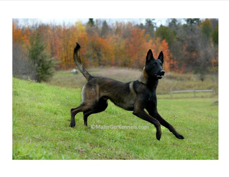 best 25  belgian malinois puppies ideas on pinterest