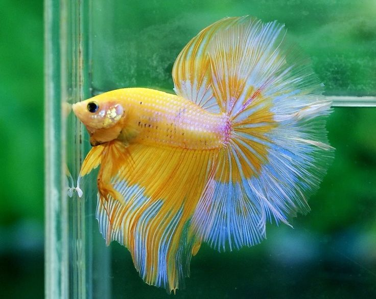 17 best images about f i s h f a c e on pinterest for Yellow koi fish for sale