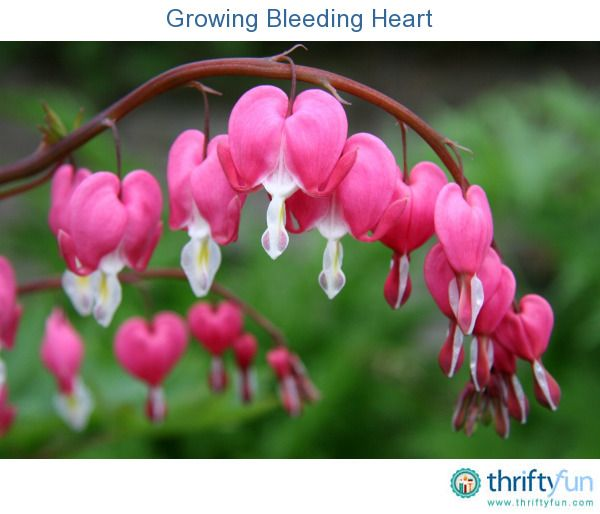 It's easy to see how the bleeding heart plant got its name. This guide is about how to care for bleeding heart flowering plants.