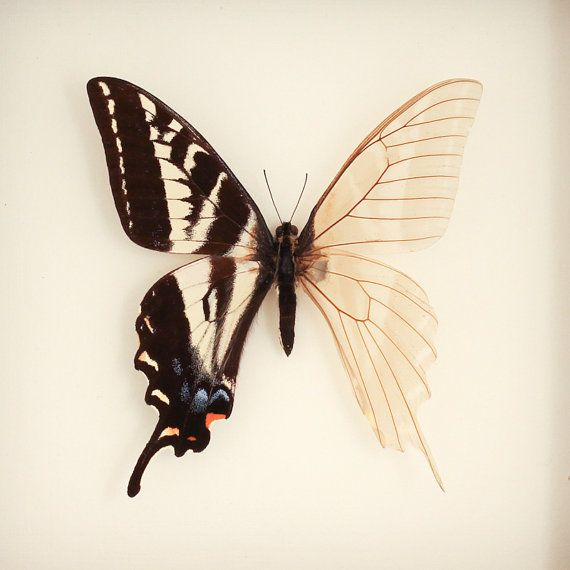 Real Skeleton Butterfly Cabinet of Curiosity by BugUnderGlass