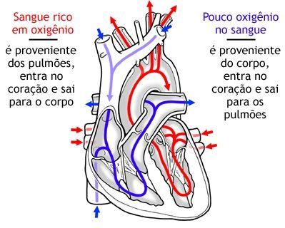 O coração, órgão central do aparelho circulatório, é um músculo oco, destinado a impulsionar o sangue através dos vasos. Nessa tarefa, comporta-se como uma bomba [...]