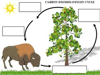 Print this out for the students to fill in the blanks for the carbon dioxide-oxygen cycle.  An answer key is included.