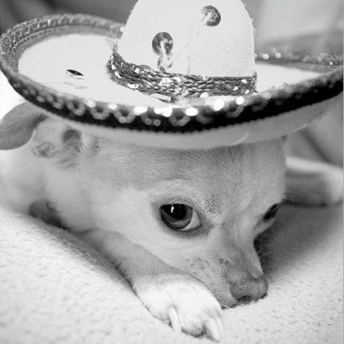 8 x 8 Roxie the Chihuahua in Sombrero Hat by glennisphotos on Etsy, $25.00
