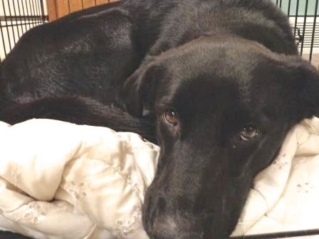 Available for adoption - Sasha is a female dog, Labrador Husky Mix, located at Puppy Love Rescue in West Bend, WI.
