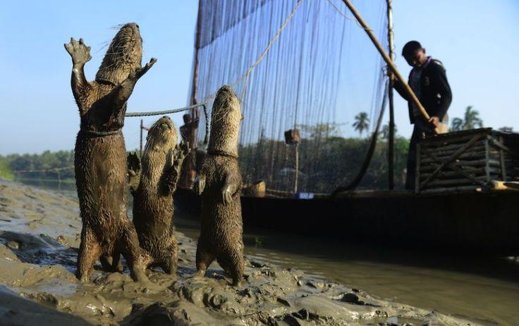 Жители Бангладеша приручили выдр и используют их для ловли рыбы. Эти юркие зверьки сгоняют всю рыбу в сети, их хозяевам остается лишь вынуть её из воды. Считается, что такому способы добычи рыбы несколько тысяч лет. Ещё в древнем Китае примерно за 600 лет до нашей эры на реке Янцзы использовали выдр по этому же назначению. Давайте посмотрим подробнее про этот способ рыбалки… Выдр-рыболовов натаскивают с детства. Кстати, взрослых особей держат на длинных кожаных поводках, а молодняк плавает…