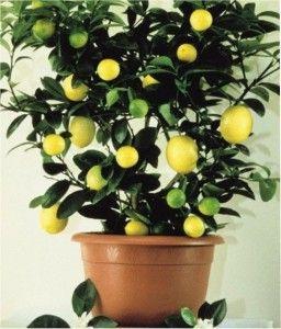 Como Cultivar Limão Siciliano em Vasos   Vaso e Cia