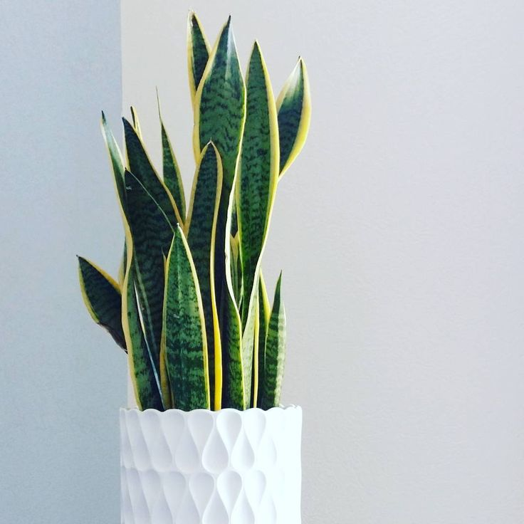 Descubre los cuidados de una de las plantas de interior más resistentes, bonitas y una de las recomendaciones de la NASA para eliminar tóxicos del aire: la sansevieria.
