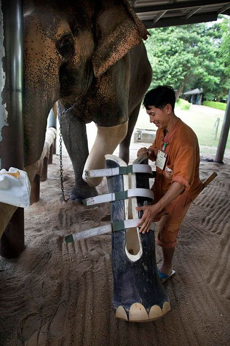 Mosha, the elephant, was rescued when she was seven-months-old and brought to the Friends of the Asian Elephant hospital where she became the first elephant in the world to be fitted with an artificial leg in 2007.    Now aged three, she is growing at such a rate she has now been fitted with a second prosthetic leg.    Her home in the tropical jungle of northern Thailand, near the Cambodian border, is an orphanage for elephants.    Stumbling around on three limbs at the world's first elephant...