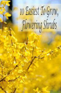 10 Easiest to grow flowering shrubs