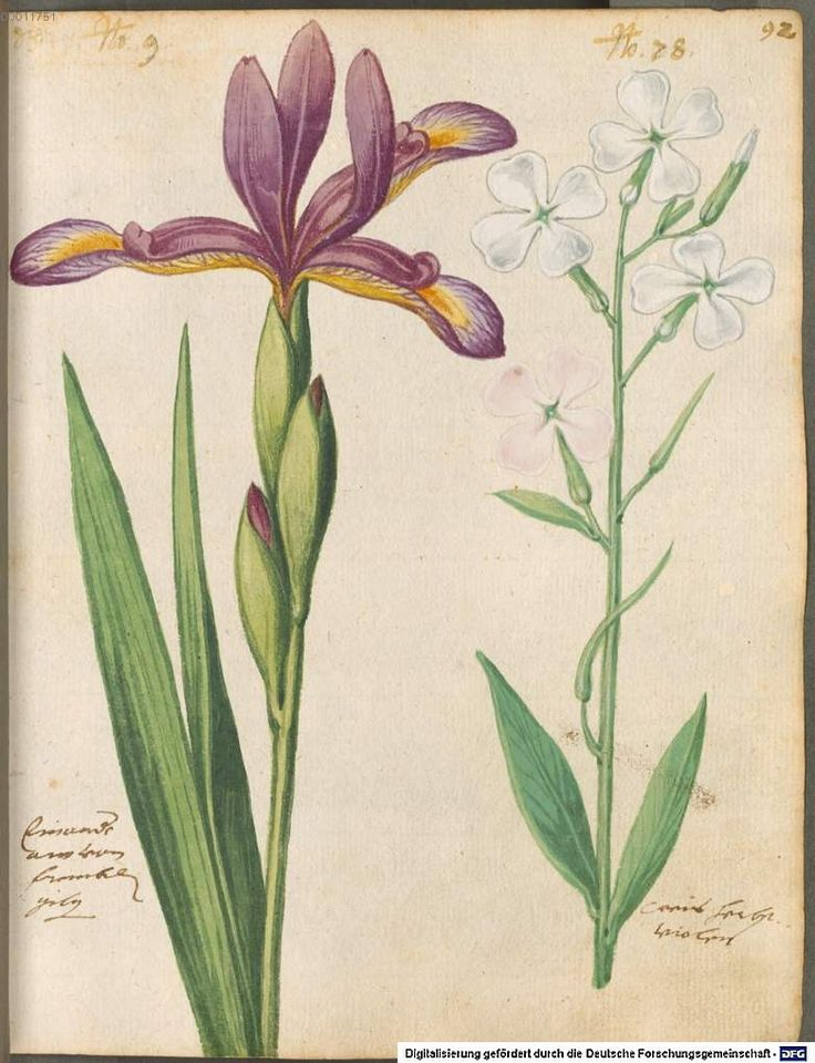 Iris - Hortulus Monheimensis 000195 - 1615