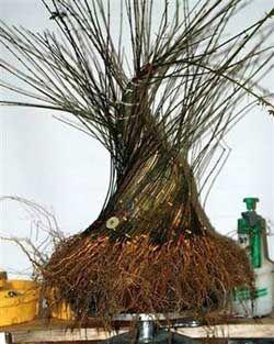 Cách tạo cây bonsai có gốc to - CayCanhHaiSon.com