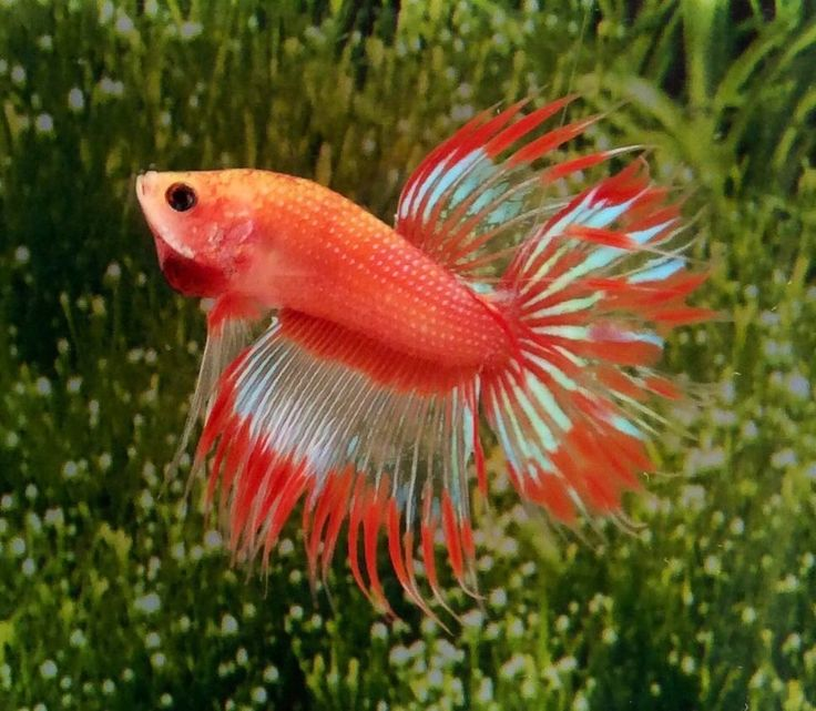 1000 images about beta fish on pinterest auction red for Best place to buy betta fish online